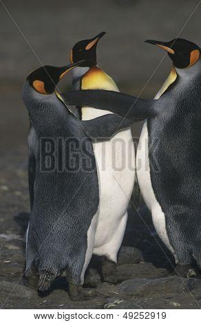 UK South Georgia Island three King Penguins on beach elevated view