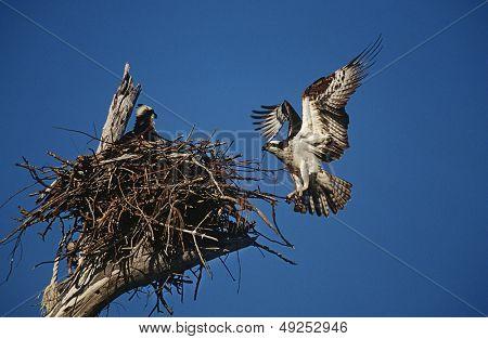 Adult Osprey (Pandion haliaetus) returning to nest with nestling