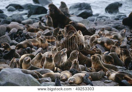 USA Alaska St. Paul Island colony of Northern Fur Seals on rocky shore