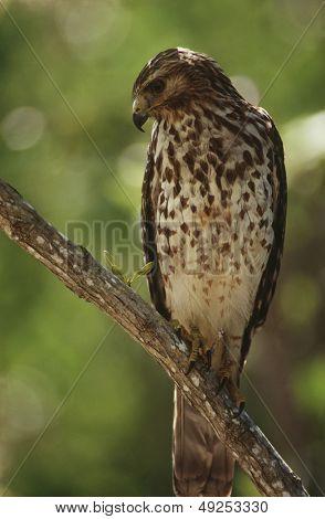 Merlin (Falco columbarius) perching on branch