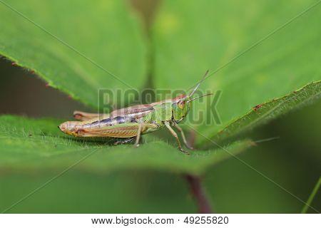 The Meadow Grasshopper (Chorthippus parallelus)