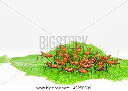 Assasin bug nymphs