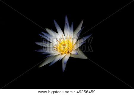 Water lilly isolated