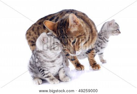 portrait of a purebred bengal cat and kitten on a white background poster