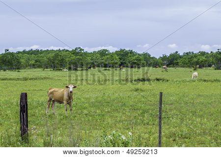 Cow Stare