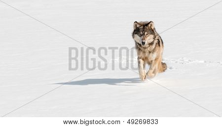 Grey Wolf (Canis lupus) Runs At Viewer On Snowy Riverbed
