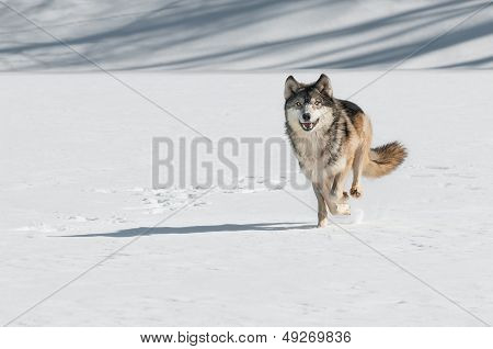 Grey Wolf (Canis lupus) Comes Running - captive animal poster