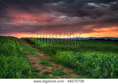 Corn Field Sunrise