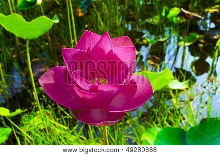 Pink Lotus in White Lake Bac Binh District.