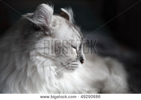 White Drowsing American Curl Cat On Dark Background