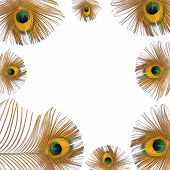 Burnished golden peacock feathers creating a framed border over white background. poster
