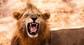 Wild African Male Lion Growling and Showing Dangerous Teeth poster