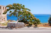 Acacia costantinopoli, tree in crete island, Greece poster