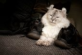 White Cat Drowsing On The Carpet Between Shoes poster