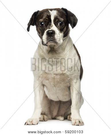 Front view of a Crossbreed dog sitting, looking at the camera, isolated on white