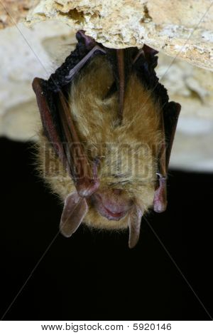 Eastern Pipistrelle Bat Closeup