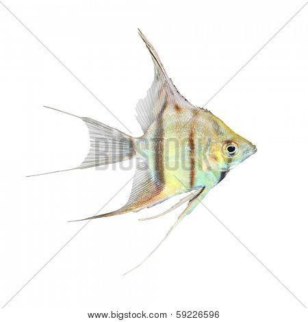Tropical fish. Freshwater Angelfish (Pterophyllum scalare) isolated on white background.