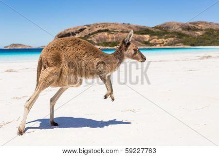 Kangaroo jumping on a pristine australian beach