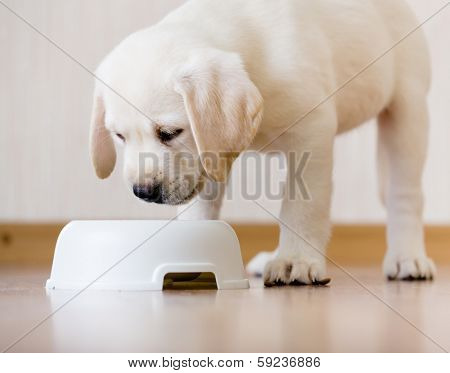 White puppy standing over his plastic bowl with food