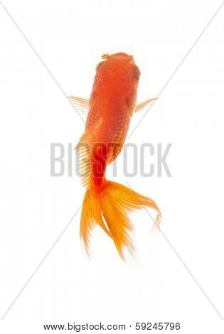 Close up of goldenfish swimming in fishbowl, isolated on white. Concept of wild nature and environment