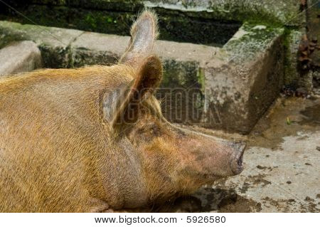 Snoozing Porker