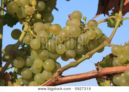 Healthy Grapes In Vineyard