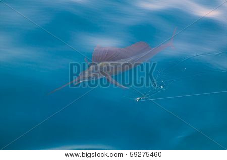 Sailfish sportfishing close to the boat with fishing line under surface