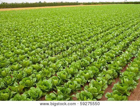 cabbage field lines in a row in Valencia Mediterranean spain