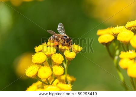 Yellow tansy flowers and bee