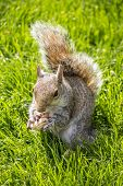 Red squirrel eating peanuts in St James 'Park, London poster