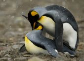 A King Penguin couple shares an intimate moment in a soft snow storm. poster