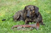 Humorous shot of the dog - guardian of trumpet poster