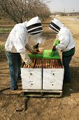 Genuine Unidentifiable Bee Keepers inspect their Bee Hives and their Bees to make sure they are healthy and doing their job of pollinating plants and making honey. Bee Keeping is an important job. poster