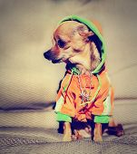 a chihuahua with a hoodie and jewelry on done with a vintage retro instagram filter poster