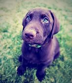 a cute chocolate lab puppy sitting in the grass done with a vintage retro instagram filter  poster