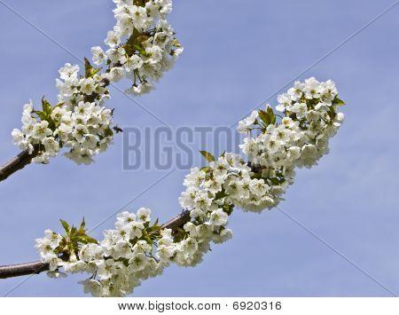 Blossom Of Cherries