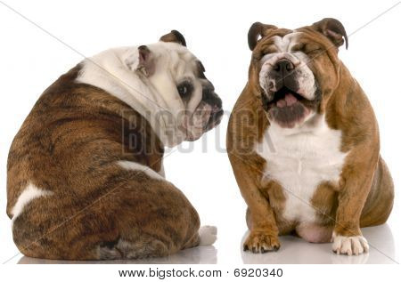 funny dog fight - english bulldog laughing at another with back to viewer poster