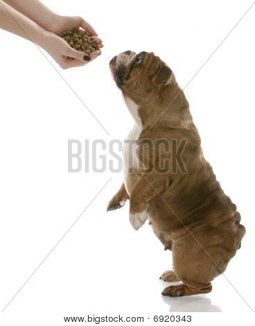 english bulldog stretching up to get a hand full of dog food poster