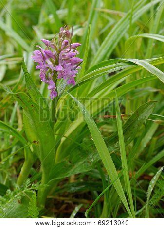 broad - leaves marsh orchid