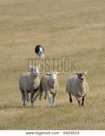 Running The Sheep (Ovus aries) In