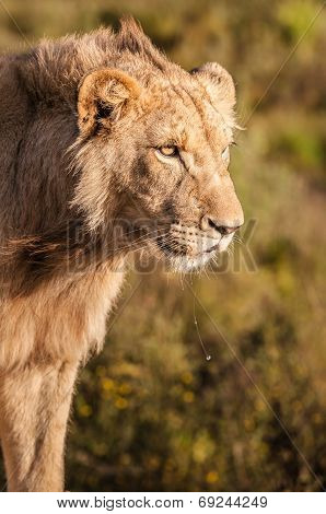 Close up of lioness head