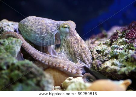 Common Octopus Resting On A Reef