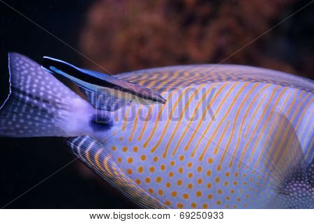 Bluestreak Cleaner Wrasse Cleaning Another Fish, A Red Sea Sailfin Tang