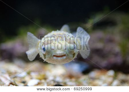 A Porcupinefish Swimming In Aquarium