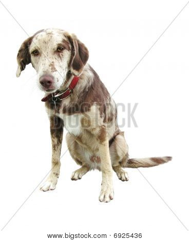 Sad face funny looking labrador retriever spotted mix dog looking at the camera isolated on white background poster