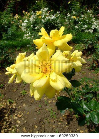 Allgold Rose