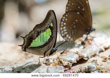 Common Nawab Butterfly (polyura Athamas)