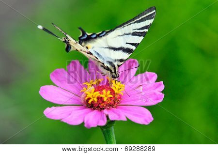 Scarce swallowtail butterfly collects nectar on flower zinnia.