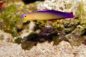 Purple Firefish ( Nemateleotris decora) in Aquarium poster