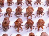 Cicada exoskeletons (shells) are arranged into military ranks ready to march on white background. poster